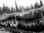 Shekk-el-bint leaves drying