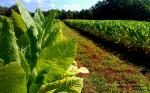 Virginia field