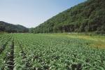 Semois tobacco field