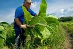 Harvesting perique tobacco