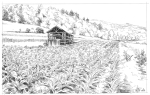 Semois tobacco field illustration