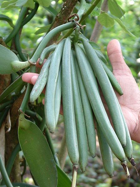 Vanilla bean trees