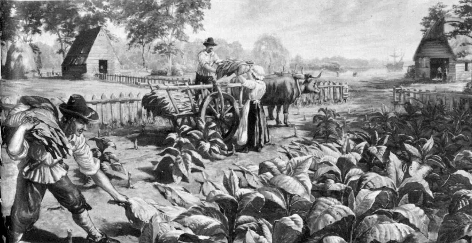 Farming Maryland tobacco in a colonyEnglish Puritans 1600s
